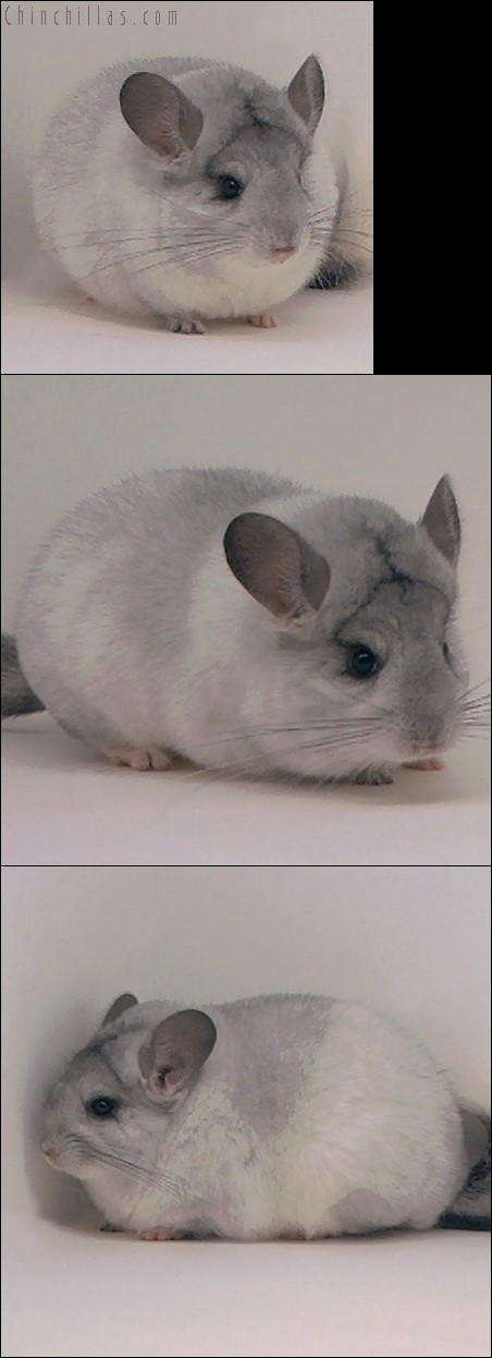 4017 Show Quality Silver Mosaic Female Chinchilla