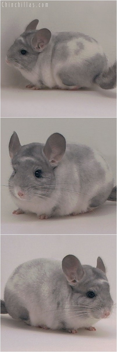 4043 Show Quality Splotchy Mosaic Male Chinchilla