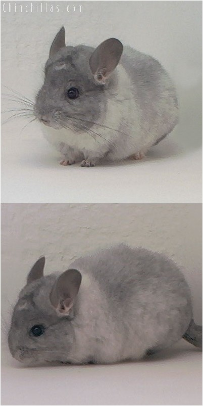 4039 White Mosaic Female Chinchilla