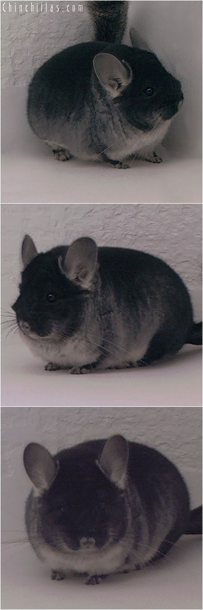 4045 Show Quality Black Velvet Female Chinchilla