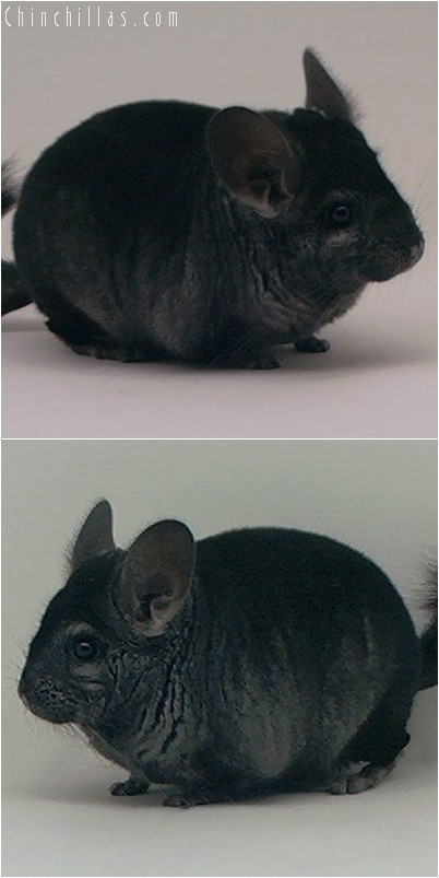 3131 Top Show Quality Ebony Male Chinchilla