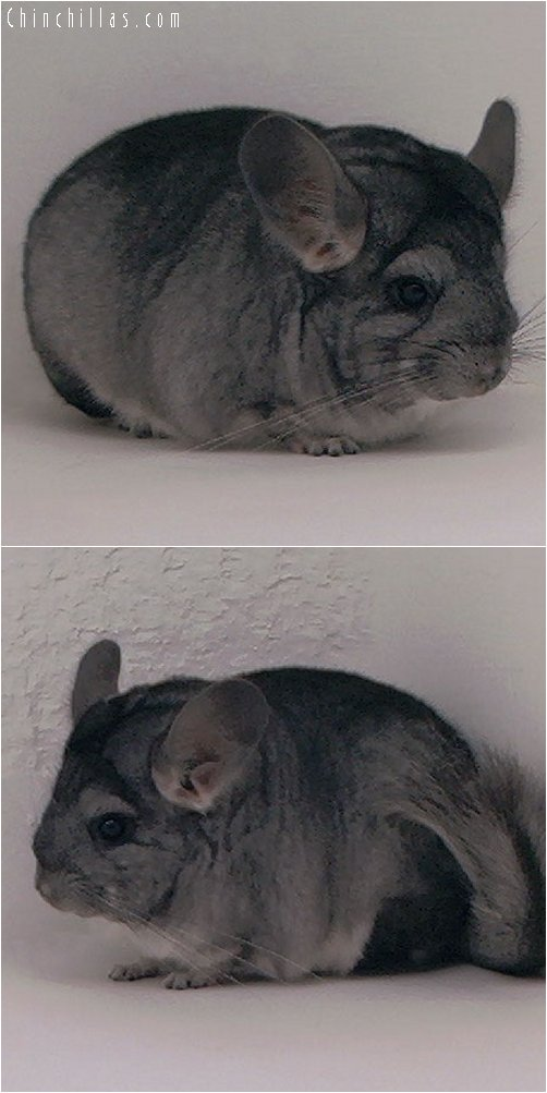3087 Large Show Quality Standard Female Chinchilla