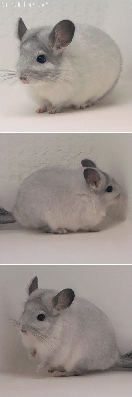 4060 White Mosaic ( Sapphire Carrier ) Female Chinchilla