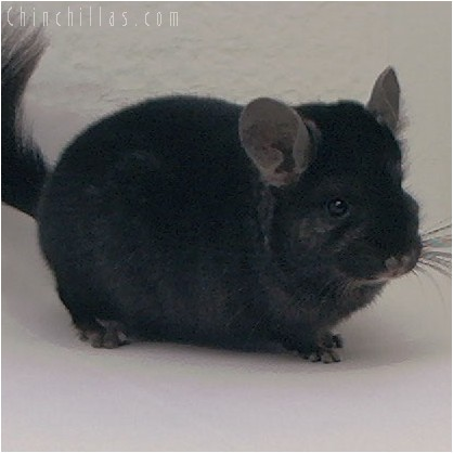 4064 Mini / Dwarf Ebony Male Chinchilla