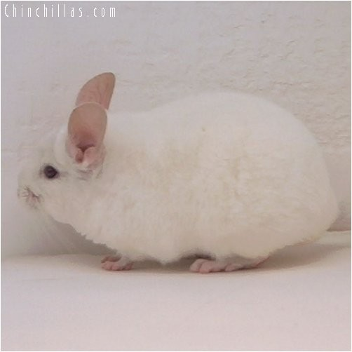 3086 Pink White Female Chinchilla