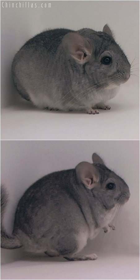 3072 Show Quality Large Standard Female Chinchilla