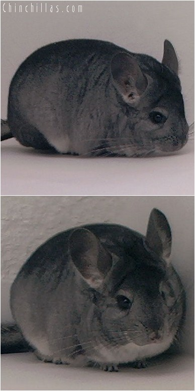 3143 Premium Production Quality Standard Female Chinchilla