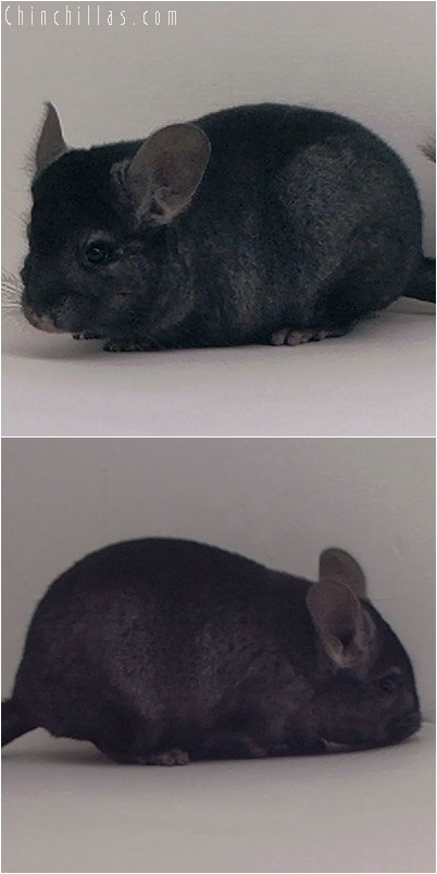 3141 Show Quality Ebony Female Chinchilla