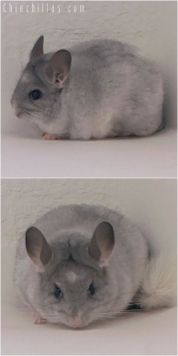 4048 Splotchy Mosaic Female Chinchilla