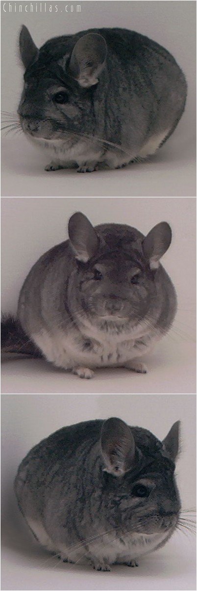 4013 Large Show Quality Standard Female Chinchilla