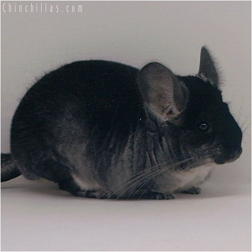 3046 Show Quality Black Velvet Female Chinchilla