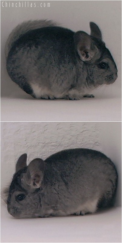 3130A Show Quality Standard ( Violet Carrier ) Female Chinchilla