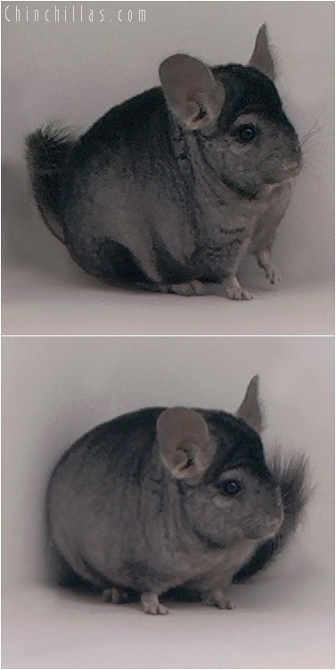 4014 Show Quality Hetero Ebony Male Chinchilla