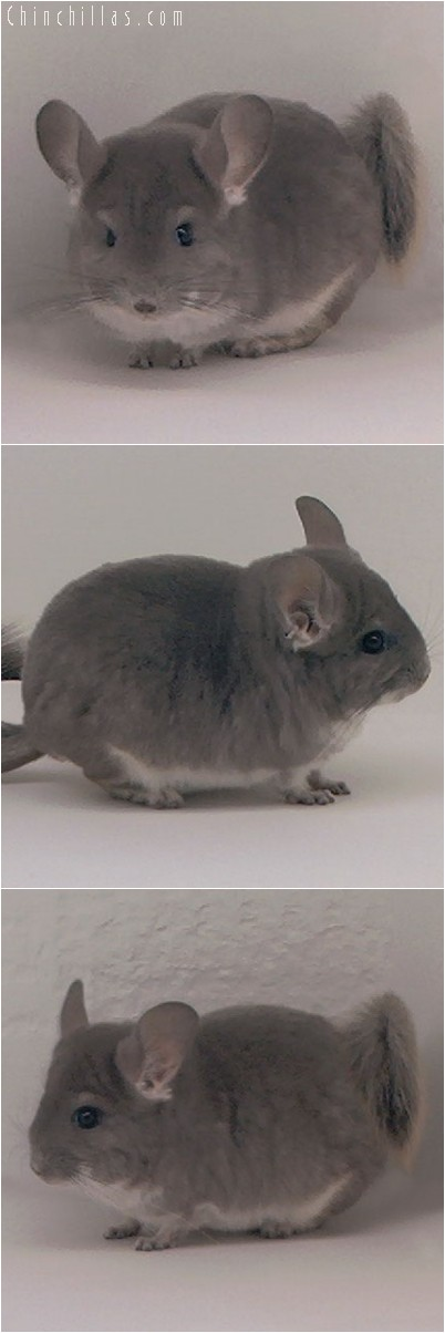 3124 Show Quality Violet Male Chinchilla
