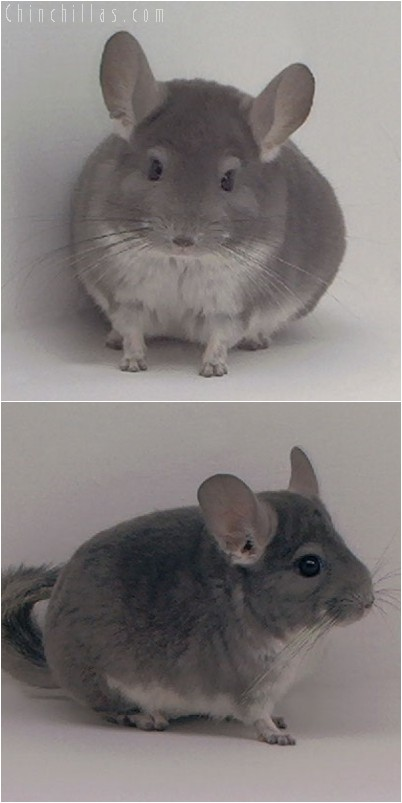 4071 Violet Male Chinchilla