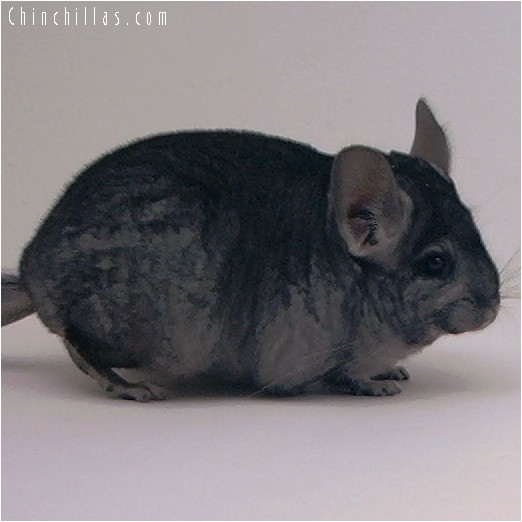 4049 Show Quality Ebony ( Violet Carrier ) Female Chinchilla