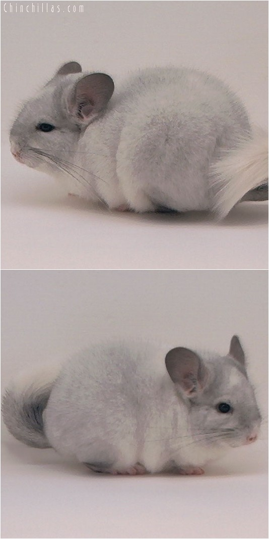 4083 Top Show Quality White Mosaic Female Chinchilla