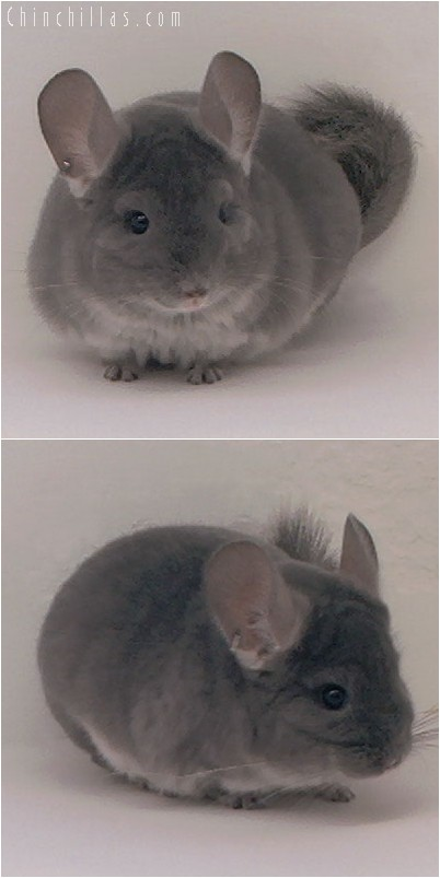 4076 Show Quality Violet Male Chinchilla