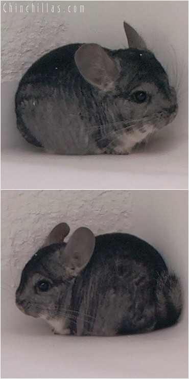 4088 Dwarf / Mini Standard Male Chinchilla