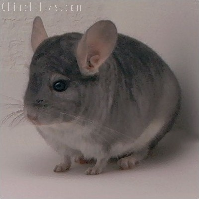 4081 Top Show Quality Sapphire Male Chinchilla