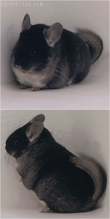 4084 Show Quality Black Velvet Female Chinchilla