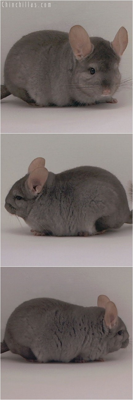 4005 Showable Quality Tan Male Chinchilla