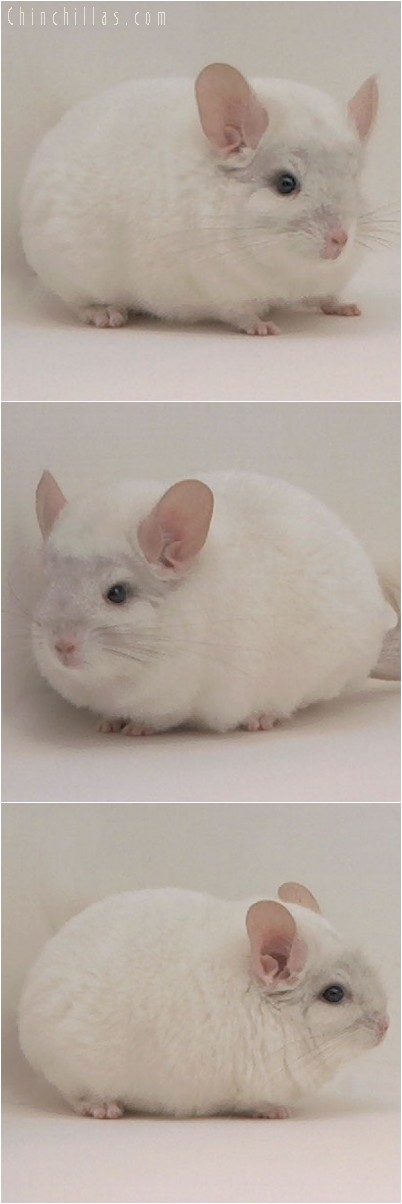 4097 Top Show Quality Pink White Female Chinchilla