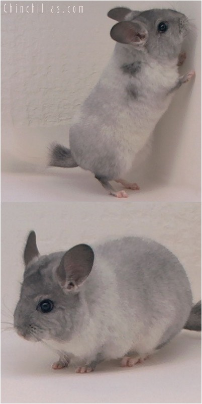 4079 Show Quality White Mosaic ( Sapphire Carrier ) Female Chinchilla
