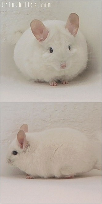 4074 Show Quality Pink White Male Chinchilla