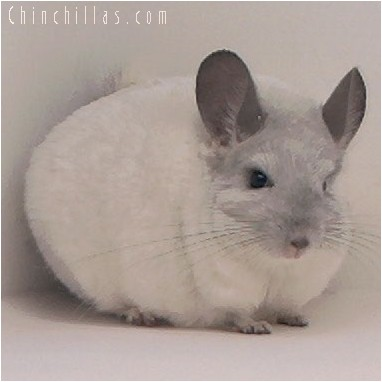 4077 Showable White Mosaic Male Chinchilla