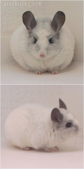 4080 Showable White Mosaic Female Chinchilla