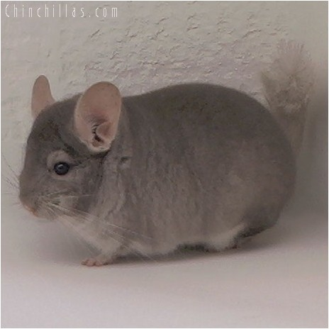 4082 Show Quality Beige Male Chinchilla