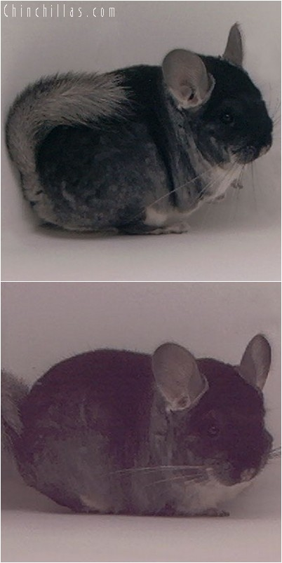 3138 Small Showable Black Velvet Female Chinchilla