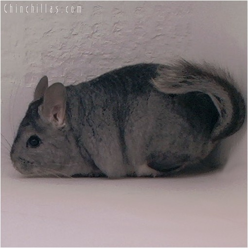 4046 Showable Standard Female Chinchilla