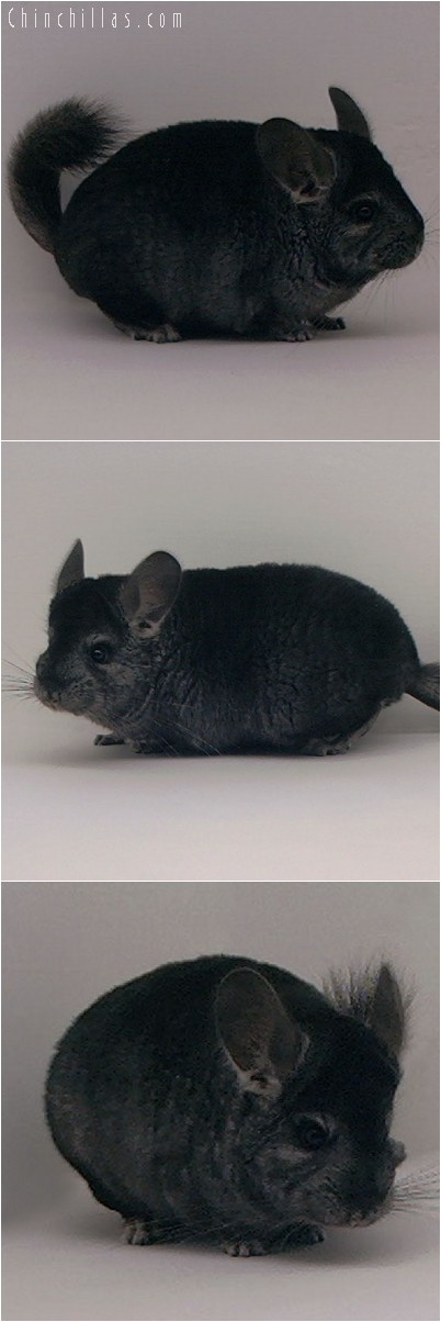 4096 Showable Ebony Female Chinchilla