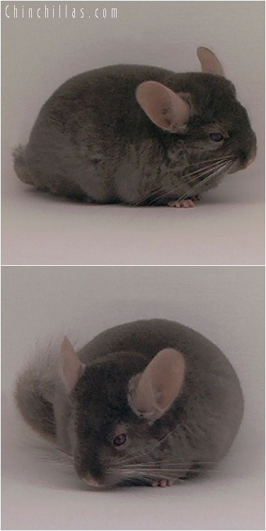 4098 Show Quality Dark Tan Female Chinchilla