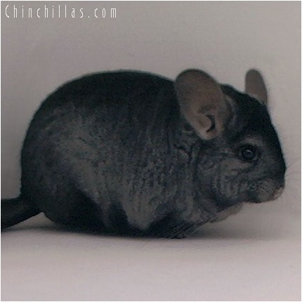 4101 Top Show Quality Ebony Female Chinchilla