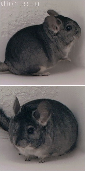4069 Show Quality Standard Female Chinchilla
