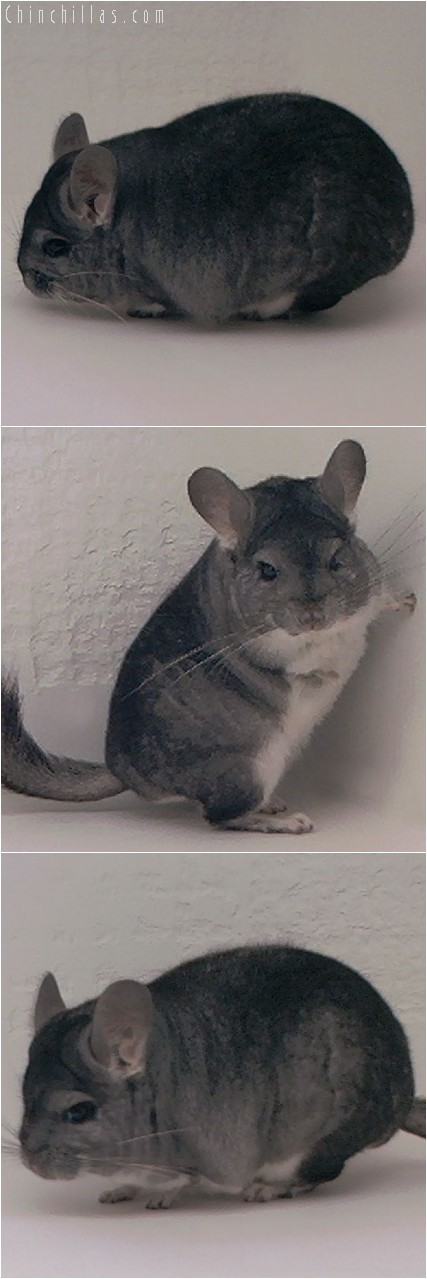 3122 Showable Standard Male Chinchilla