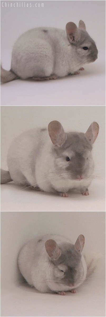 4128 Top Show Quality TOV Pink White Female Chinchilla