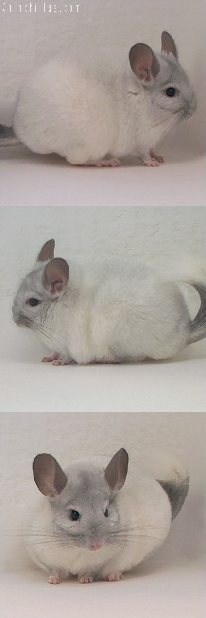4125 Top Show Quality White Mosaic Female Chinchilla