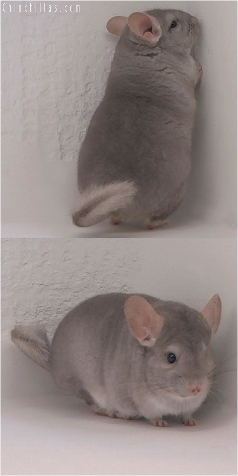 4130 Top Show Quality Beige Female Chinchilla