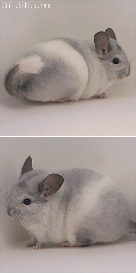 4126 Show Quality Silver Mosaic Male Chinchilla
