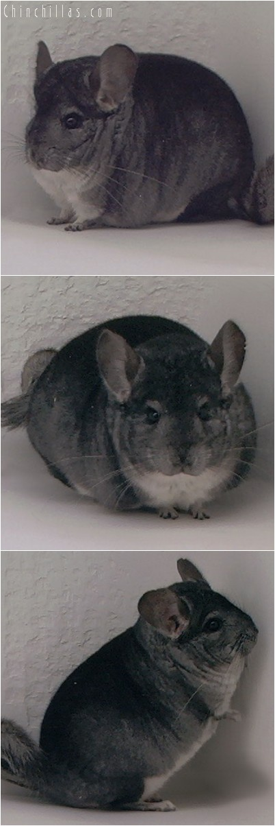 4075 Top Show Quality Standard Male Chinchilla