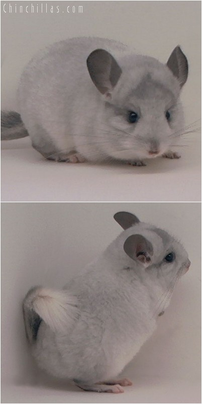 4116 Showable White Mosaic Male Chinchilla