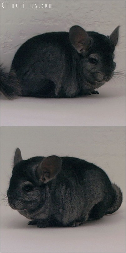 4120 Top Show Quality Ebony Male Chinchilla