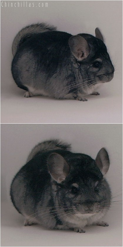 4058 Large Show Quality Standard Male Chinchilla