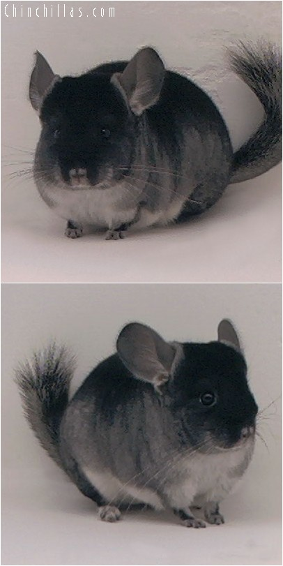 4138 Show Quality Black Velvet ( Sapphire Carrier ) Female Chinchilla