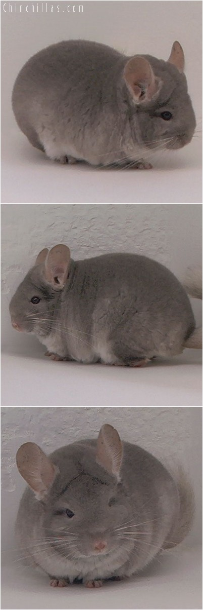 4100 Top Show Quality TOV Beige ( Violet Carrier ) Female Chinchilla