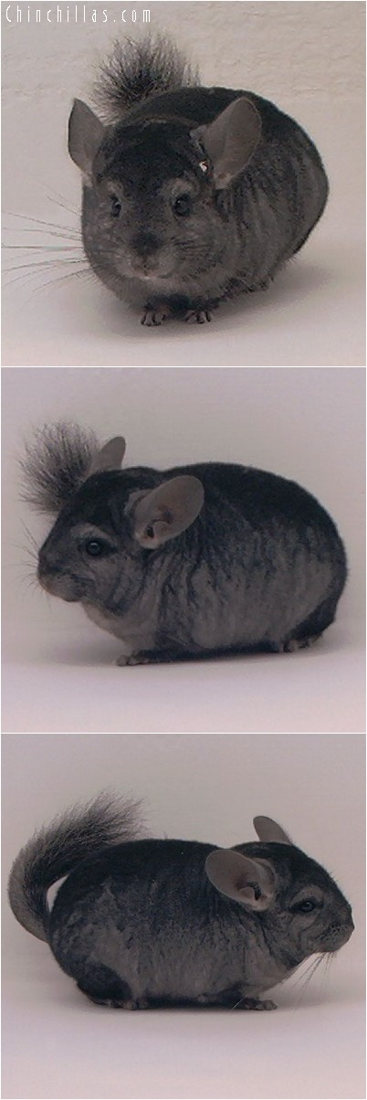 4072 Ebony ( Violet Carrier ) Male Chinchilla